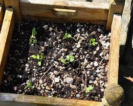 Planted-up Herb seedlings