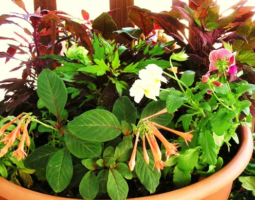 Combination Planter: Made in the Shade.  Coleus, Pansy and Fuchsia relax in the coolness of the shade.
