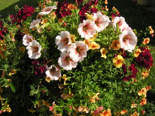 Hot and Spicy Hanging Basket.  Petunia as the  'thriller' , Burgundy Verbena for the 'filler', and Terra Cotta Calibrachoa serve as the 'spiller' for this summer combination hanging basket.