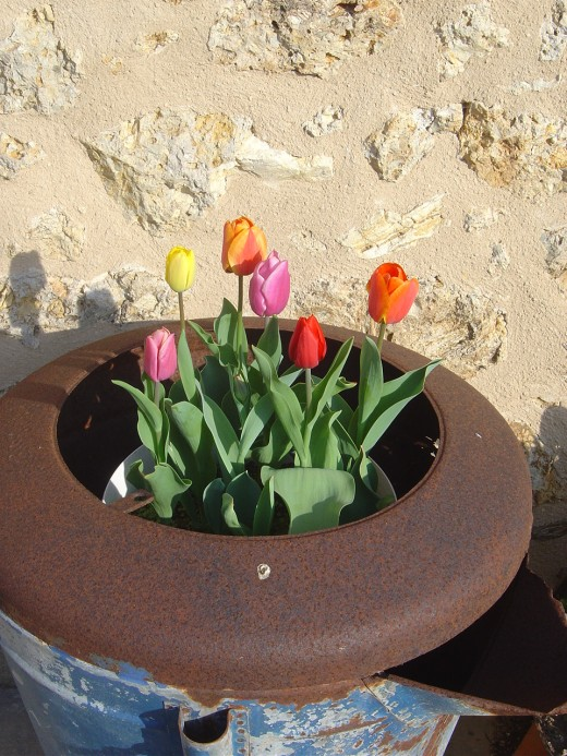 Tulips at Les Trois Chenes yes, but, as yet, no black ones. I had hoped to have some this spring, but sadly, wickedly hard frosts seem to have done for my lovely, new black tulip bulbs! Beware