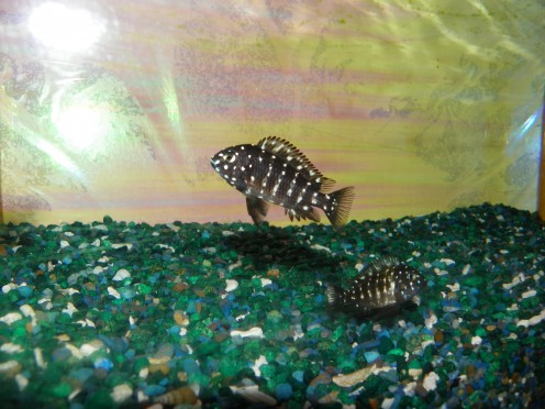 Cichlids - Freshwater Aquarium Animals - HubPages.