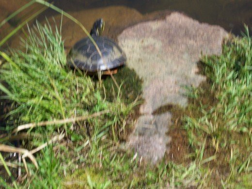 The turtles come out in the spring at a nearby pond.