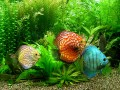 The Most Important Factor In Keeping Your Discus Fish Healthy And Happy