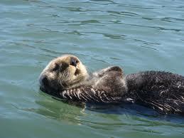 Otters at Morro Bay
