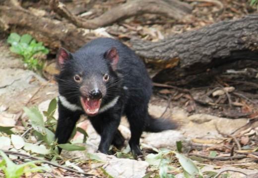 A Tasmanian Devil.  Copyright 2011 Bill Yovino
