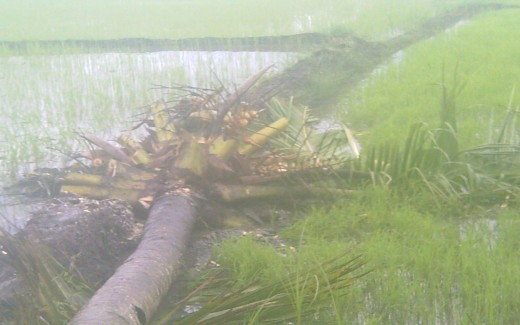 The coconut tree fell down. (Photo by Travel Man)