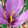 Buy Saffron Crocus Sativus Bulbs Online