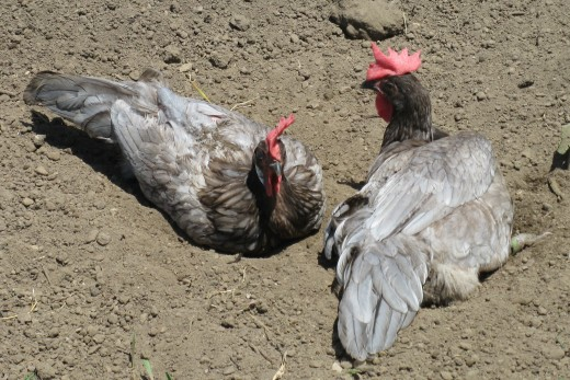 Two Blue Andalusian hens dust-bathing in the sunshine