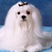 gingersmaltese profile image