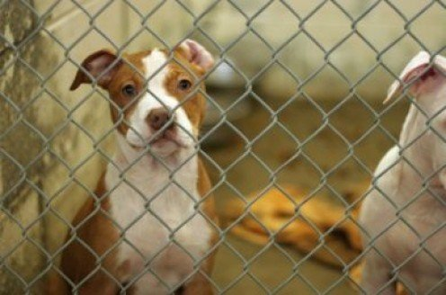Because of the stigma associated with pit bulls, many of these pups end up at the pound