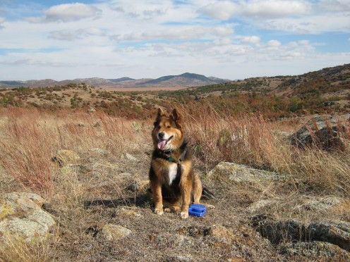 Riley at the Wichita Mountains Wildlife Refuge, Oklahoma. Leash is attached in case she tries to herd one of the buffalo in refuge.
