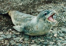 Leopard Seal on land