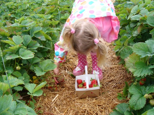 Strawberry picking.