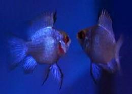 Papiliochromis ramirezi - Electric Blue Rams