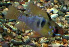 Papiliochromis ramirezi - Long Finned Rams