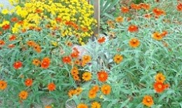 Colorful Flowers last until frost, with proper dead heading to extend their life.