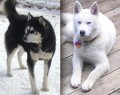 So... you think you want a Siberian Husky?