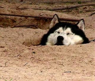 "This was once my dog - the mother of all  husky crater makers, ""Kimosabi of  Lone Pine"" now living in Texas - you gotta beat  the Texas heat somehow, right?"