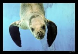 Leopard seal in the sea