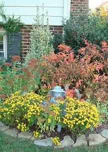 The shrub has turned from green to red, and mums and sedum are in  full bloom.