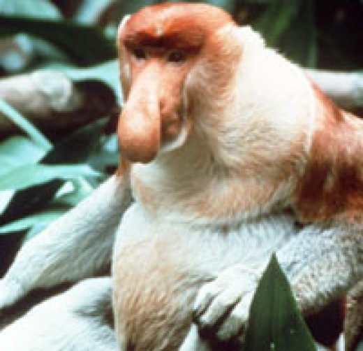 Plato the Proboscis Monkey