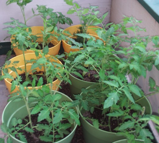 Closeup of the tomato plants flourishing.