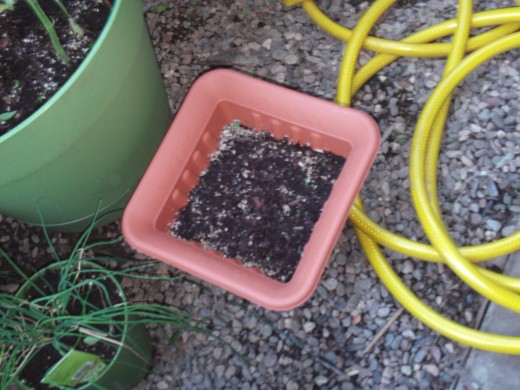 The lettuce leaves are beginning to sprout about a week after planting the seeds.