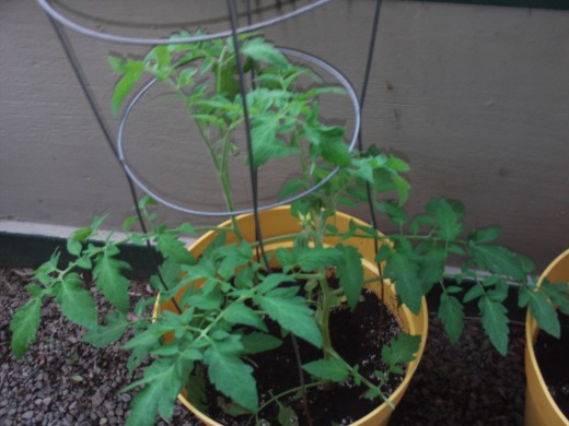 Focusing in on the verdant tomato plant.