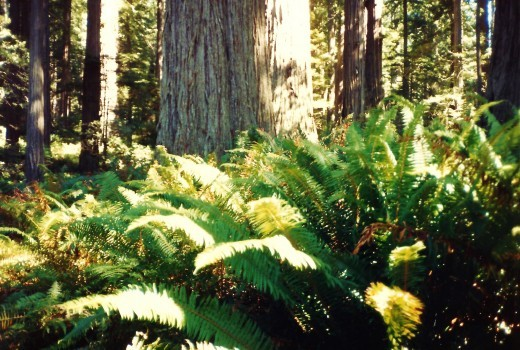 Redwoods National Park in northern California