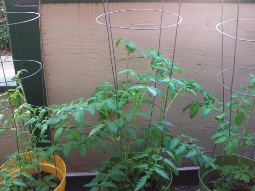 The lush foliage of a tomato plant is truly inviting.