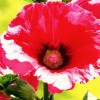 hollyhock profile image