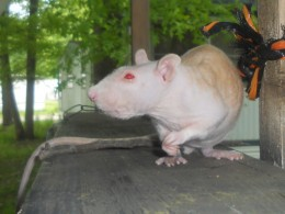The rat who survived!