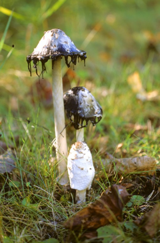 The shaggy ink cap dripping its black spore ink.