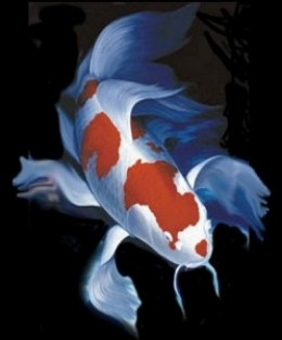 A brief look at butterfly koi for Long fin koi