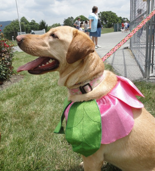 Image of CJ, a yellow Labrador Retriever, showing off her daisy flower pet fashion.  She is owned by Mindi Divelbiss of Fayetteville, Pa.