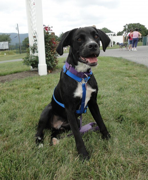Image of Tugger, a Boxer-Spaniel mix, who is for adoption through Furry Friends Network, located in Boiling Springs, Pa.
