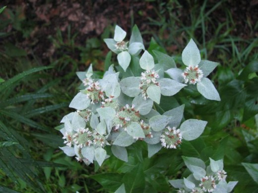 White Leaf Mountain Mint
