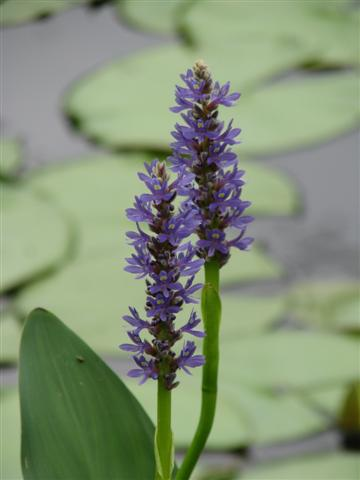 Normal Pickerel Weed