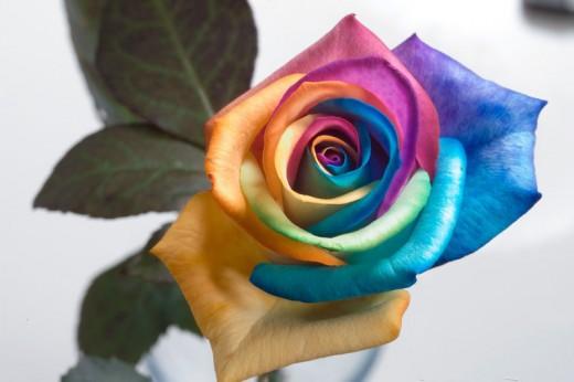 Single Rainbow Roses