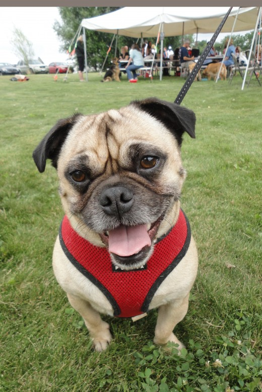 Image of Hooch, a Jack Russell-Pug mix.  He is owned by Lynn Holt of Orrtanna, Pa.