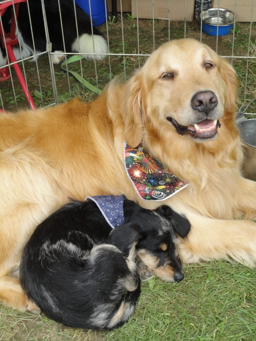 Image of Scooter, a Dachshund-Schnauzer mix, snuggled up next to his fur buddy, Steely, a Golden Retriever.  Both dogs are owned by Diana Trout of East Berlin, Pa.  She is also the owner of Tail Chasers Grooming salon.