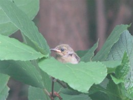 The last of the 2nd brood, peeking out from the Carolina Allspice bush.