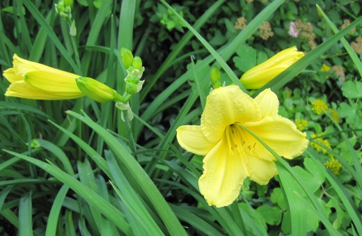 Yellow Day Lily (Happy Returns)