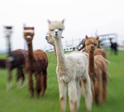 Alpacas of Ashland, Ohio