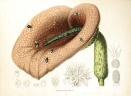 XIX century illustration of Helicodiceros muscivorus.
