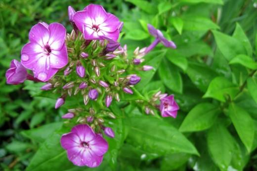 Pink Garden Phlox (Phlox paniculata)