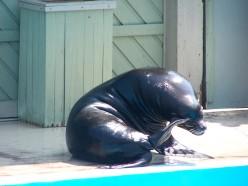 Thinking . . . thinking. . .  at Gulf World Marine Park