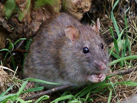 Wild Rat