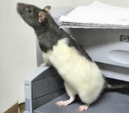 A black and white rat she named Oreo.  She usually has him with her.