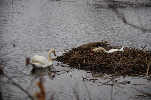 Swans building a nest at Harkness
